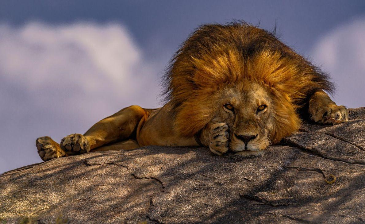 Leão deitado sobre rocha