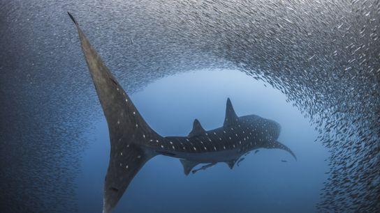 Um tubarão-baleia passa por um cardume de peixes
