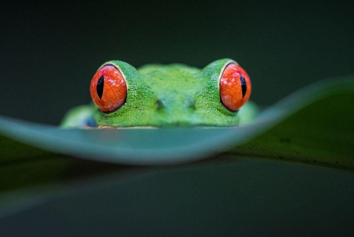 Rã de olhos vermelhos olhando para frente