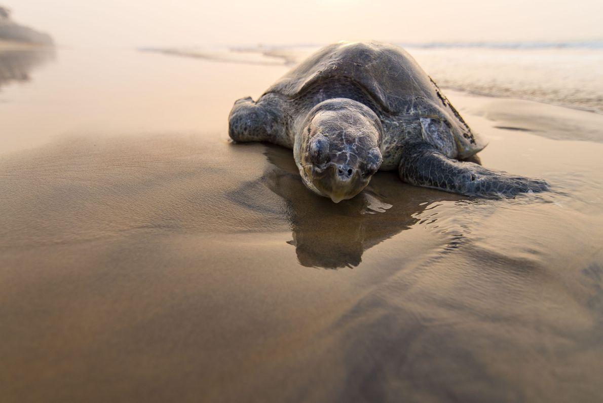 Tartaruga-oliva na beira da praia