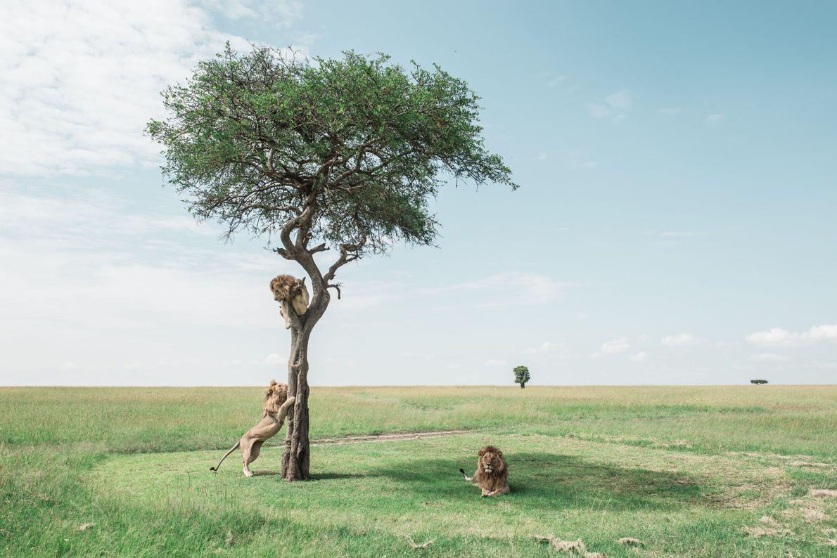 Três leões