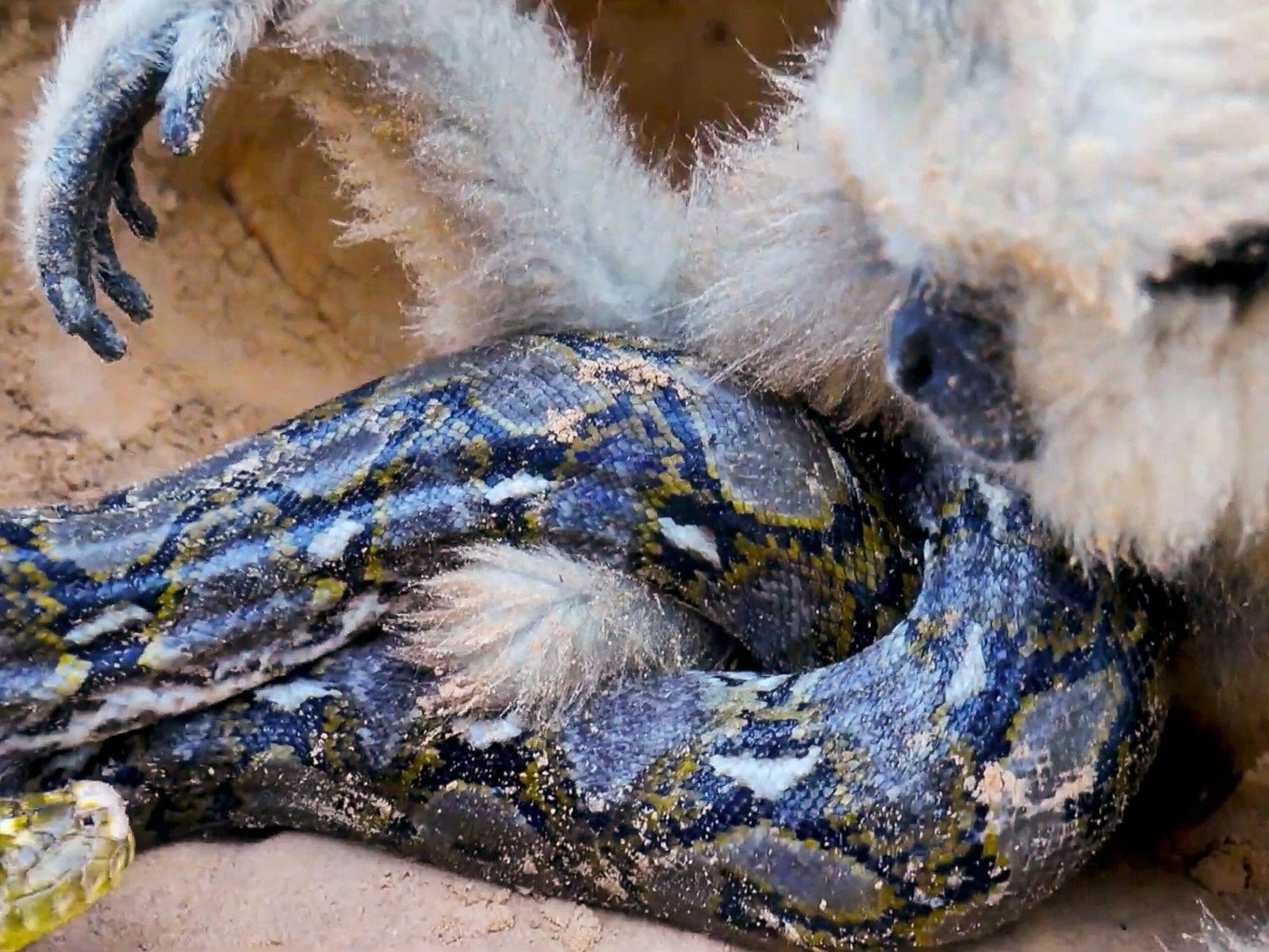 Em uma das centenas de resgates falsos de animais publicados no YouTube, uma cobra píton-birmanesa se ...
