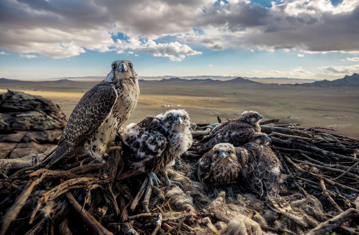 Uma falcão-sacre fêmea protege seus filhotes, chamados de eyases, em seu ninho com vista para as ...