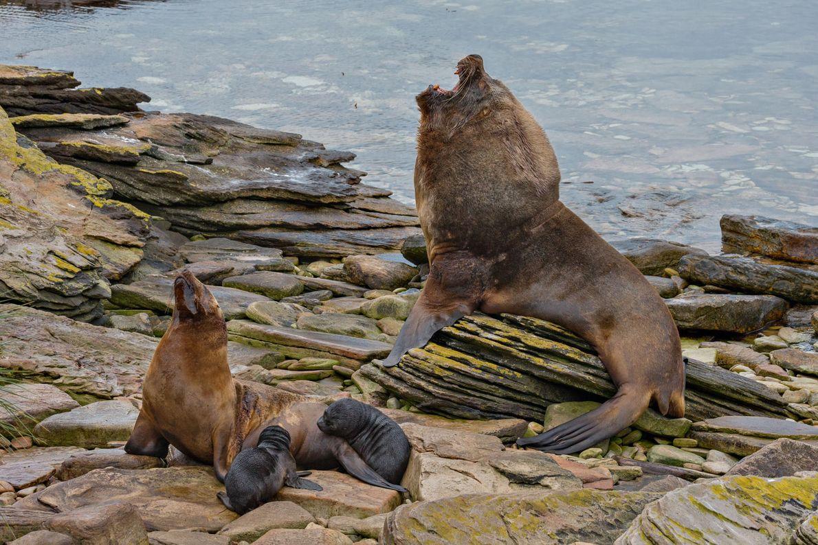 Nas Ilhas Malvinas, um leão-marinho-do-sul de aproximadamente 2,70 metros de comprimento e 360 quilos paira sobre ...