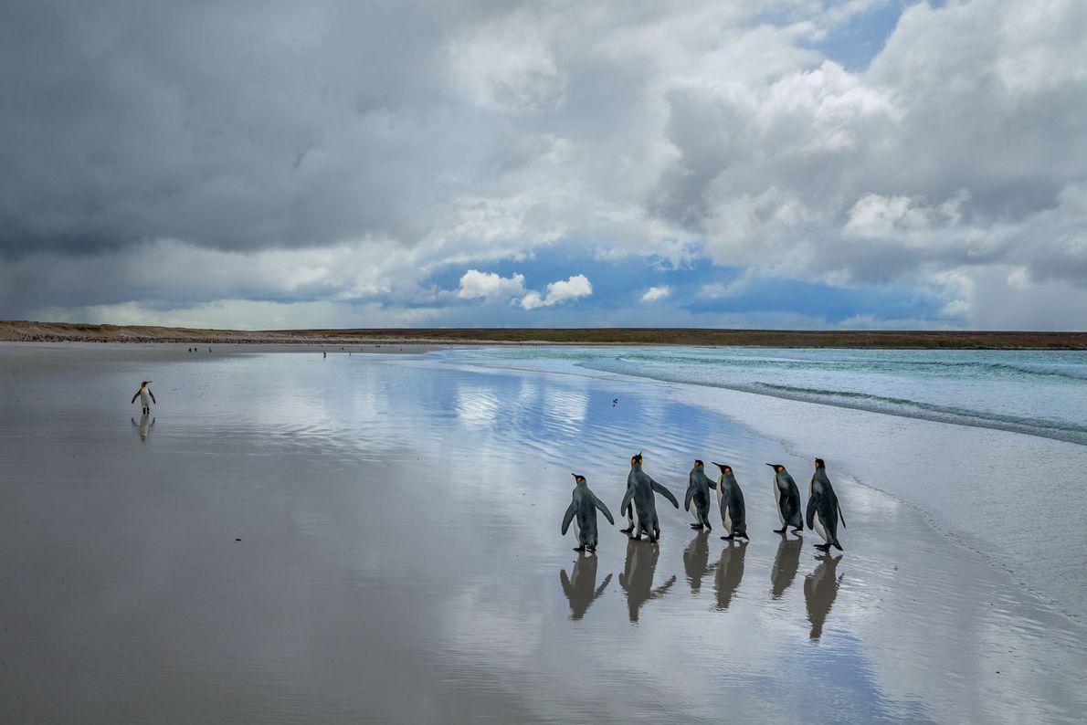 Pinguins-rei caminham nas areias brancas do Volunteer Point, na Malvina Oriental. Pequenas quantidades foram vistas nas ...