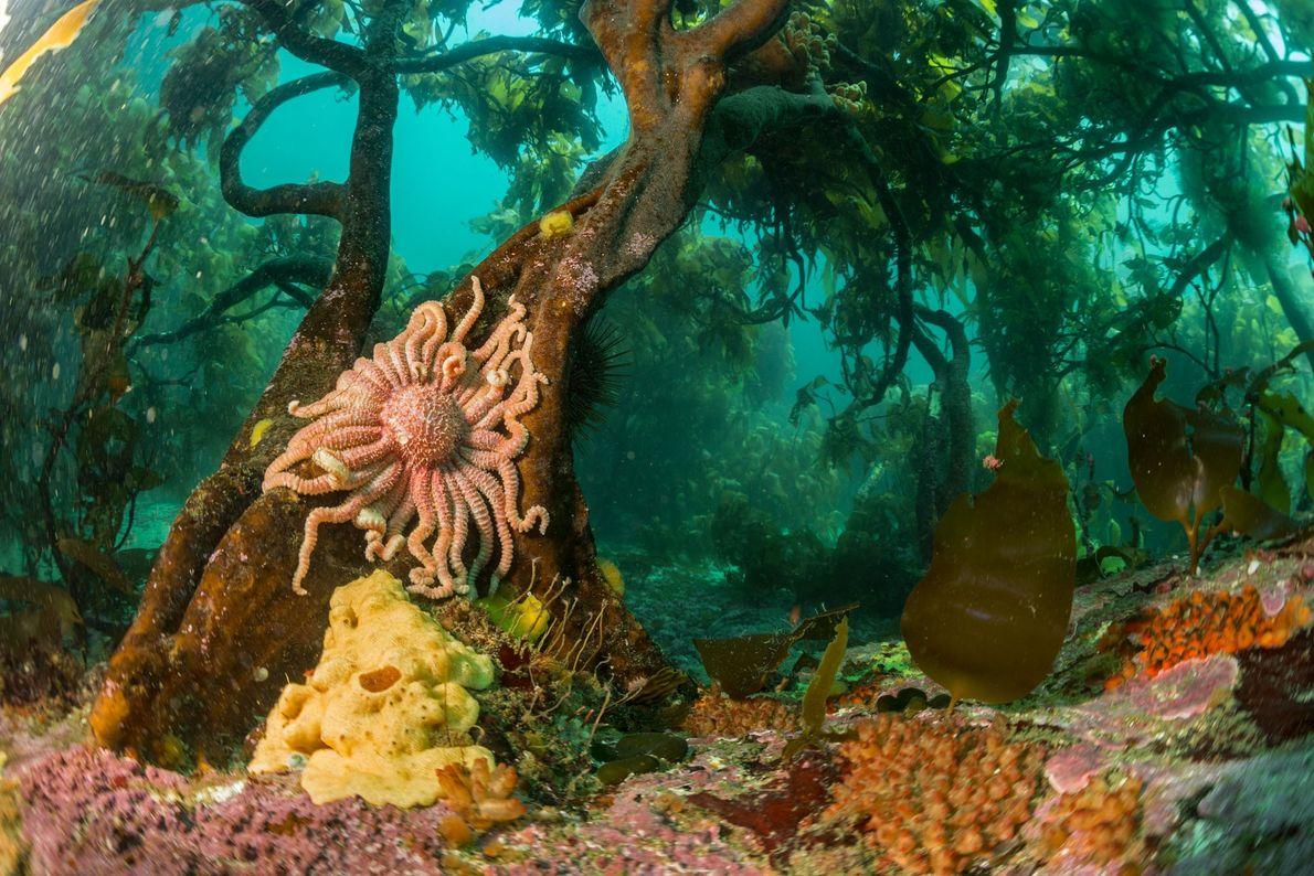 Uma estrela marinha agarra-se a uma alga marinha nas águas frias do Atlântico Sul, na Ilha ...