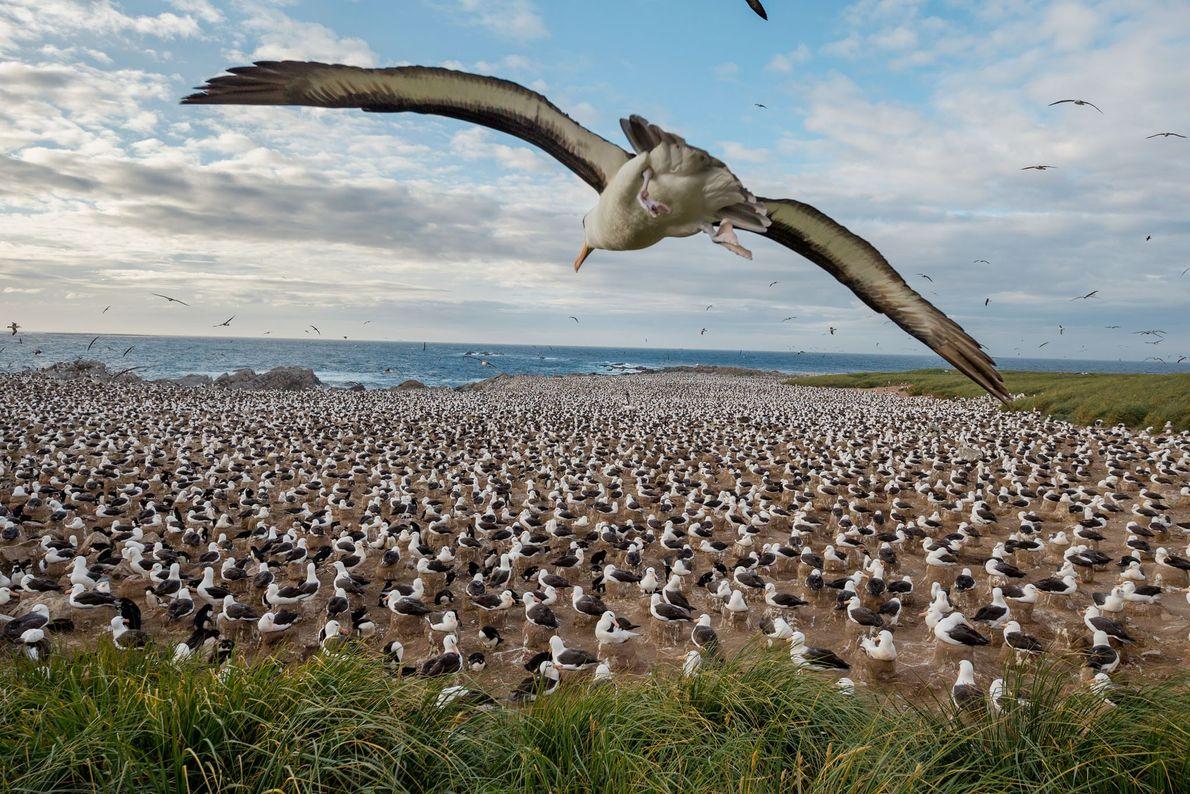 Steeple Jason, uma das ilhas mais remotas entre as Ilhas Malvinas, abriga a maior colônia do ...