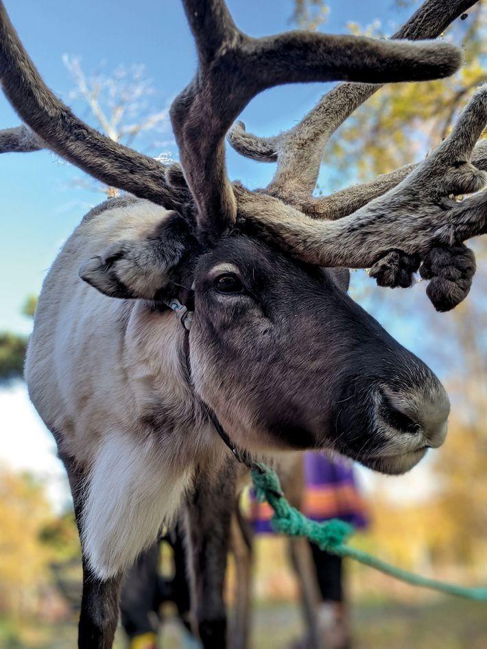 Uma rena no Círculo Polar Ártico. Os noruegueses acreditam que beijar um alce traz felicidade e ...