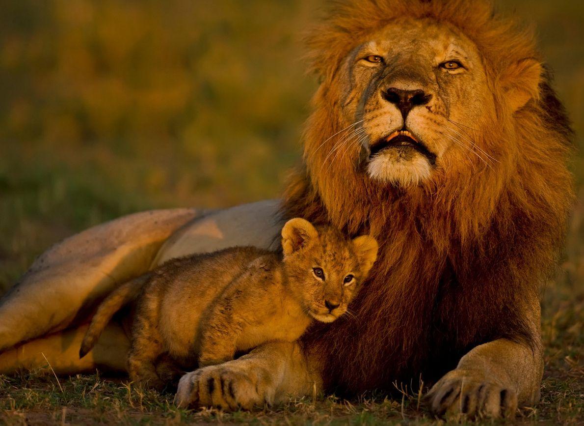 Leões  Pai e filhote compartilham um momento de ternura na Reserva Nacional de Masai Mara, no Quênia.  Os ...