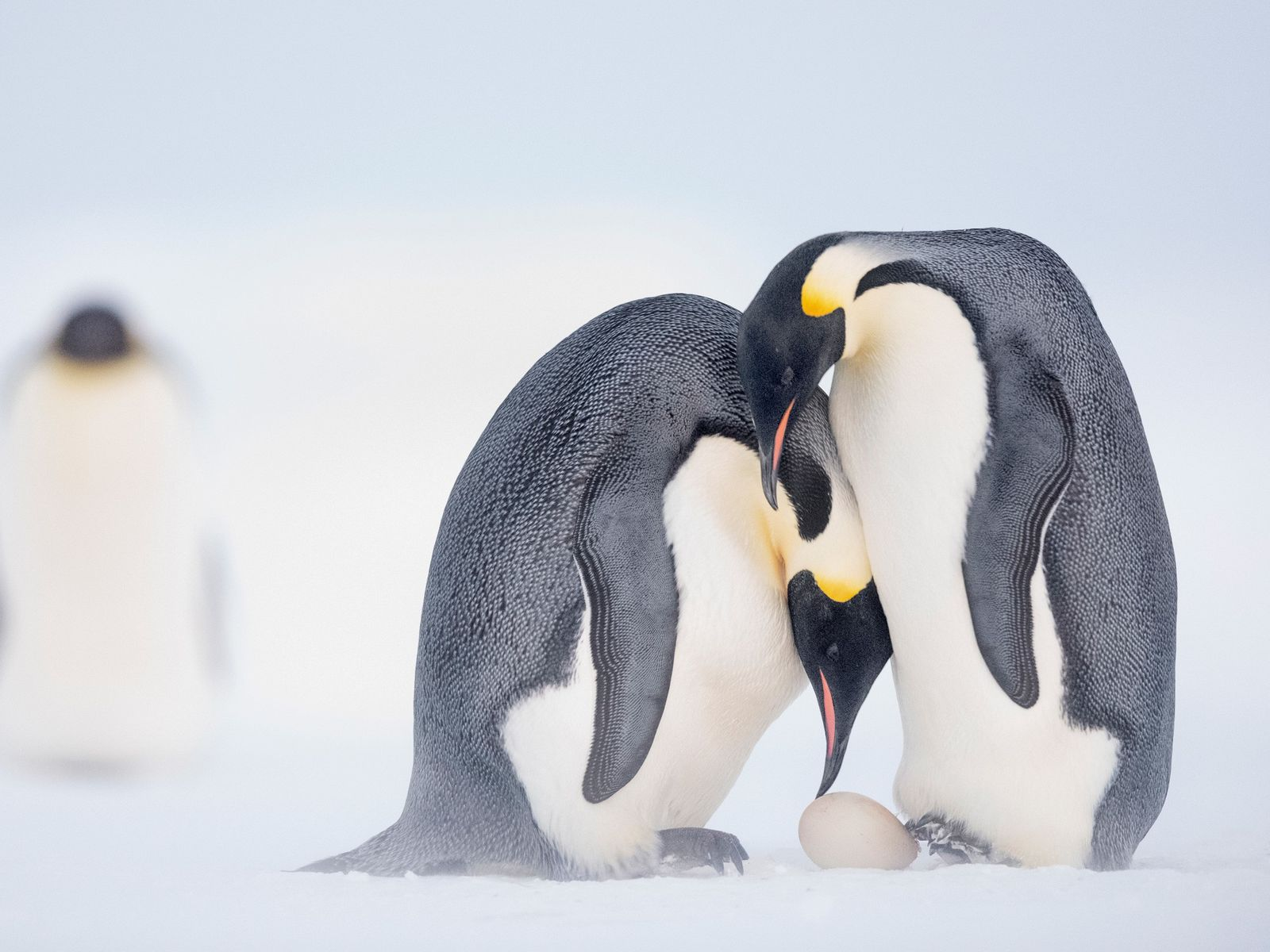 Pinguins-imperadores  Os pinguins-imperadores vivem na Antártica, um dos ambientes mais inóspitos da Terra, onde as temperaturas podem ...