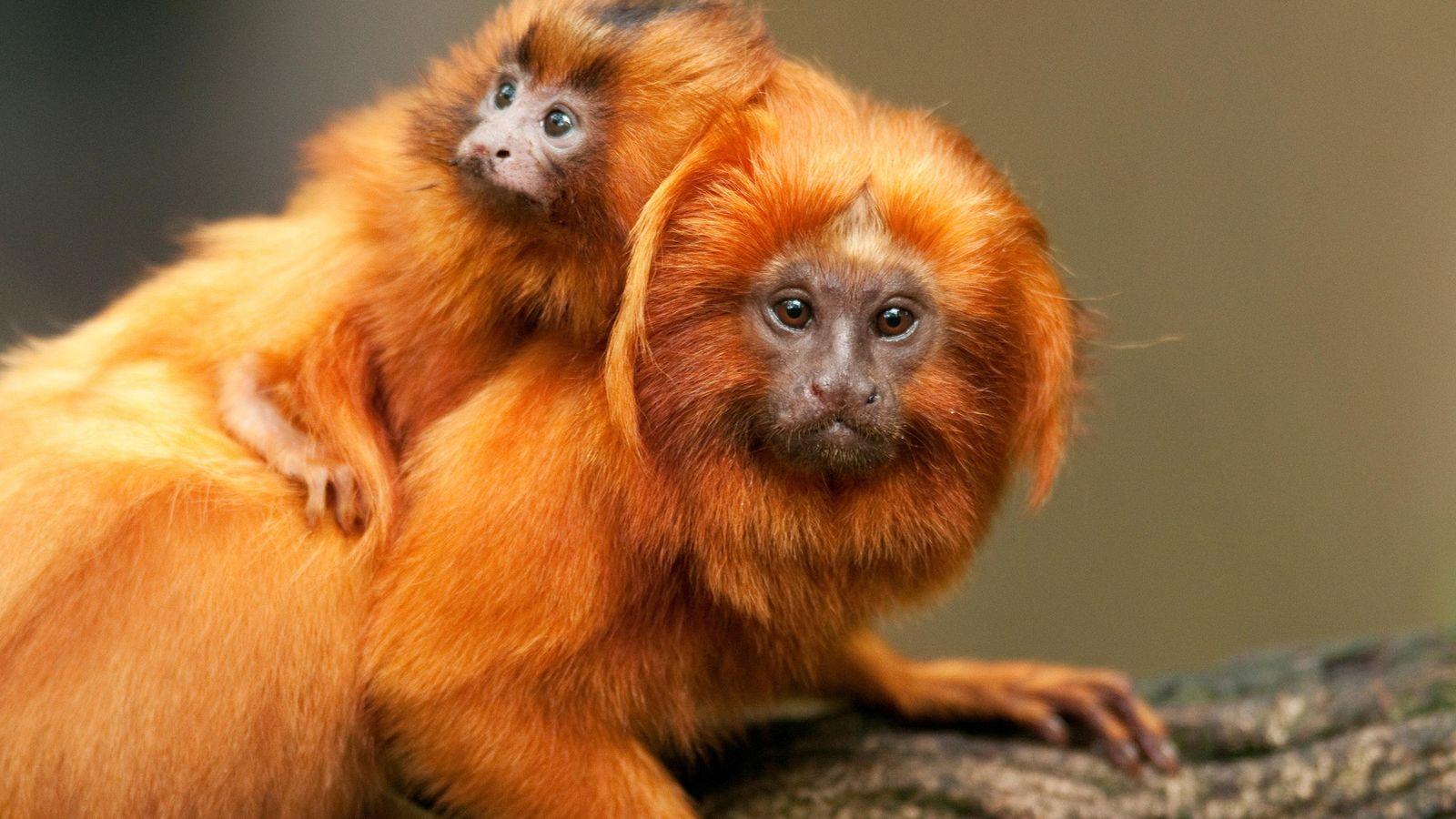 Micos-leões-dourados  Esses pais são conhecidos por literalmente levarem suas crias nas costas, frequentemente carregando-as pelas florestas tropicais ...