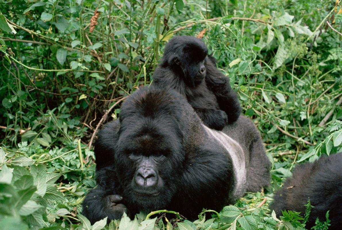 Gorila-das-montanhas  O gorila-das-montanhas macho, que lidera um grupo de até 30 membros, é um animal forte que ...