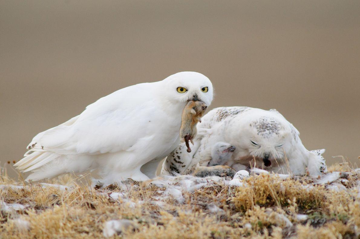 """Corujas-das-neves  Papais corujas-das-neves, como este da Ilha Bathurst, em Nunavut, no Canadá, sempre levam comida """"para casa"""", ..."""