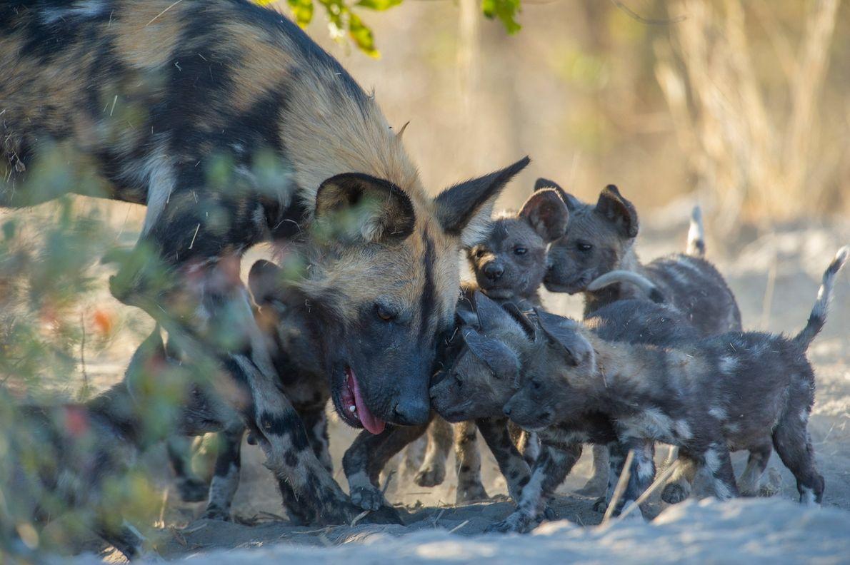 Cães-selvagens-africanos  Cães-selvagens-africanos vivem em matilhas lideradas por um casal influente, um pai e uma mãe (geralmente) monogâmicos. ...