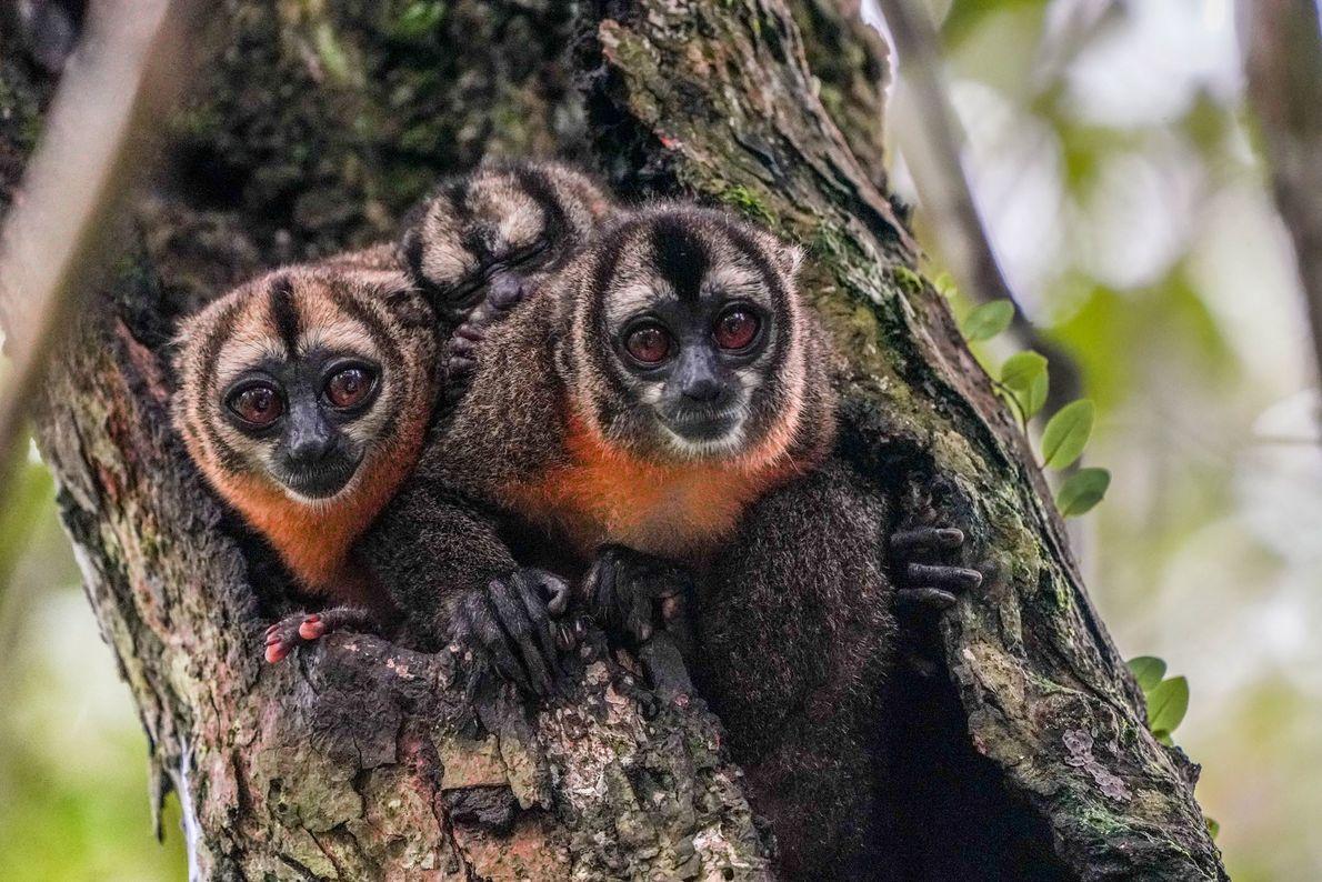 Macacos-da-noite  Depois que as mamães macacos-da-noite dão à luz, os pais entram em cena e passam a carregar, ...