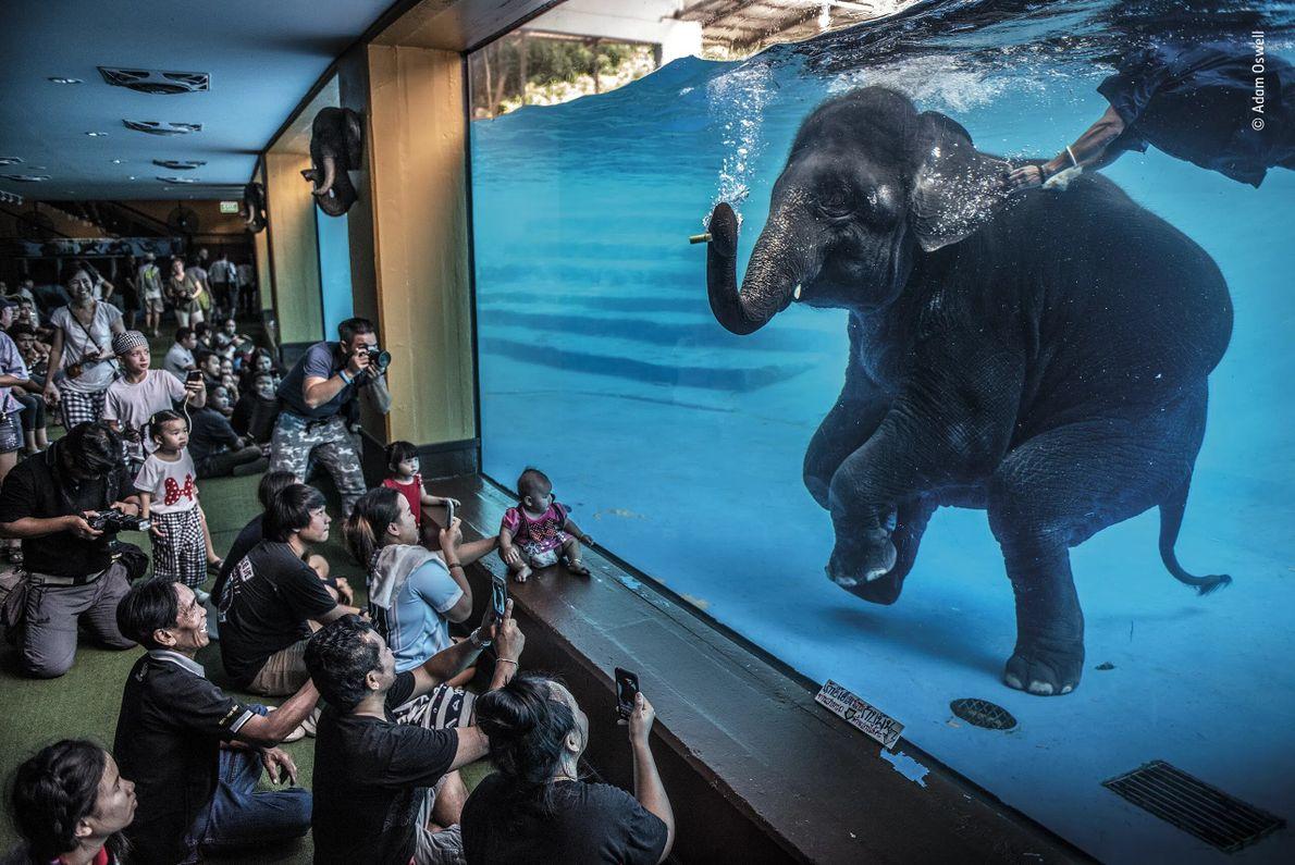 foto de elefante se apresentando embaixo d'água em um aquário para plateia