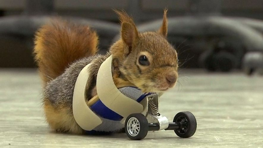 Esquilo que perdeu patas em armadilha ganha prótese de rodinhas