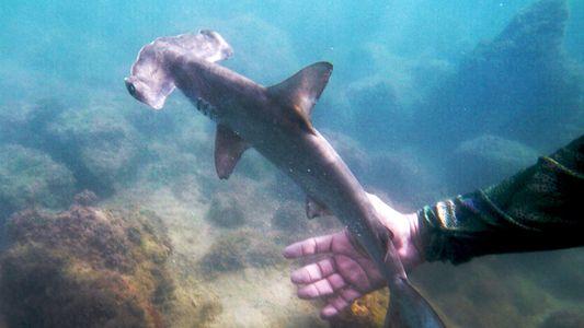 Veja este berçário de tubarões escondido