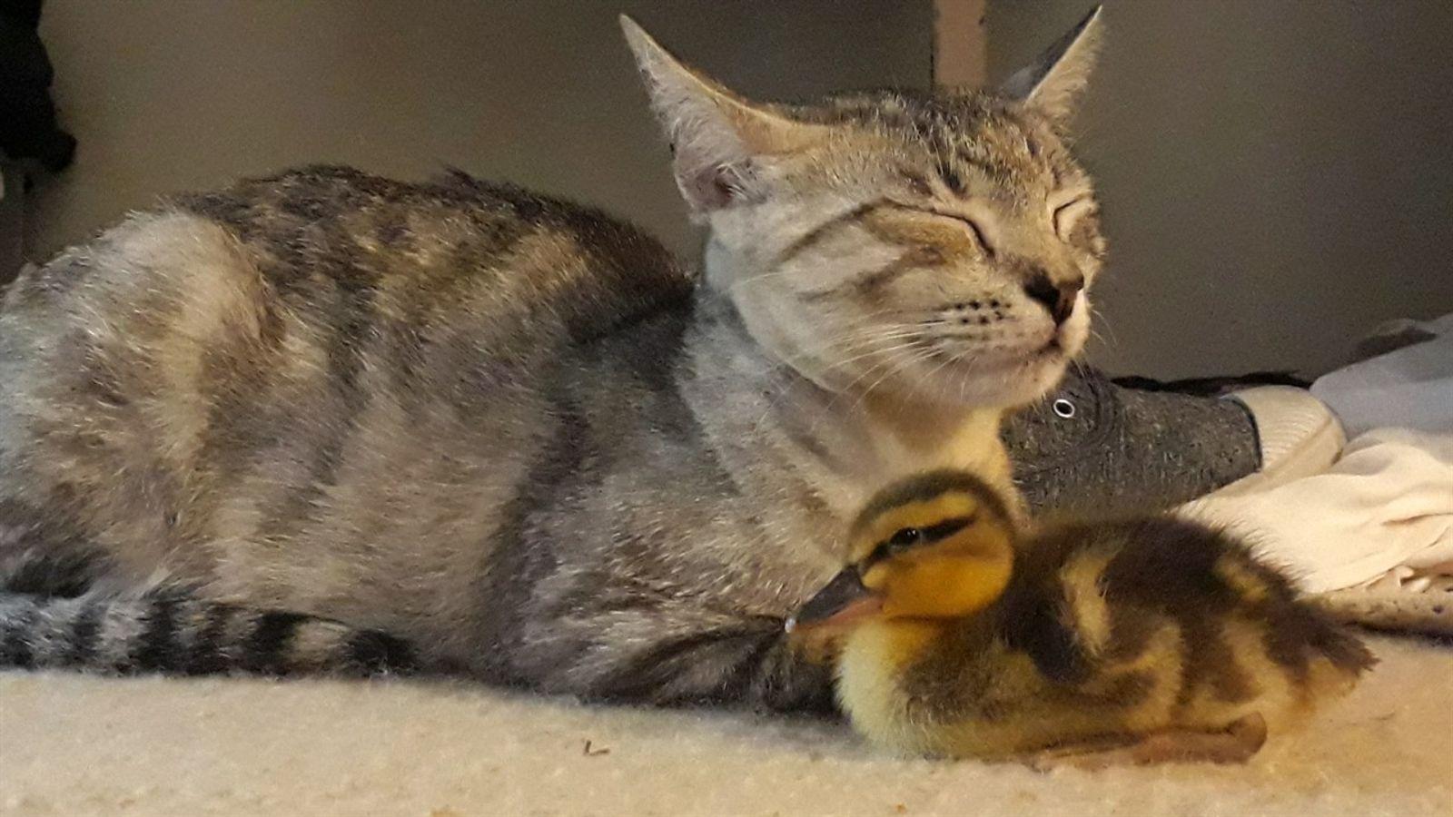 Como um patinho foi adotado por uma família de gatos