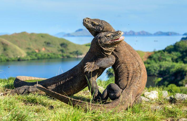 Dragões-de-komodo lutam por domínio no Parque Nacional de Komodo, na Indonésia.