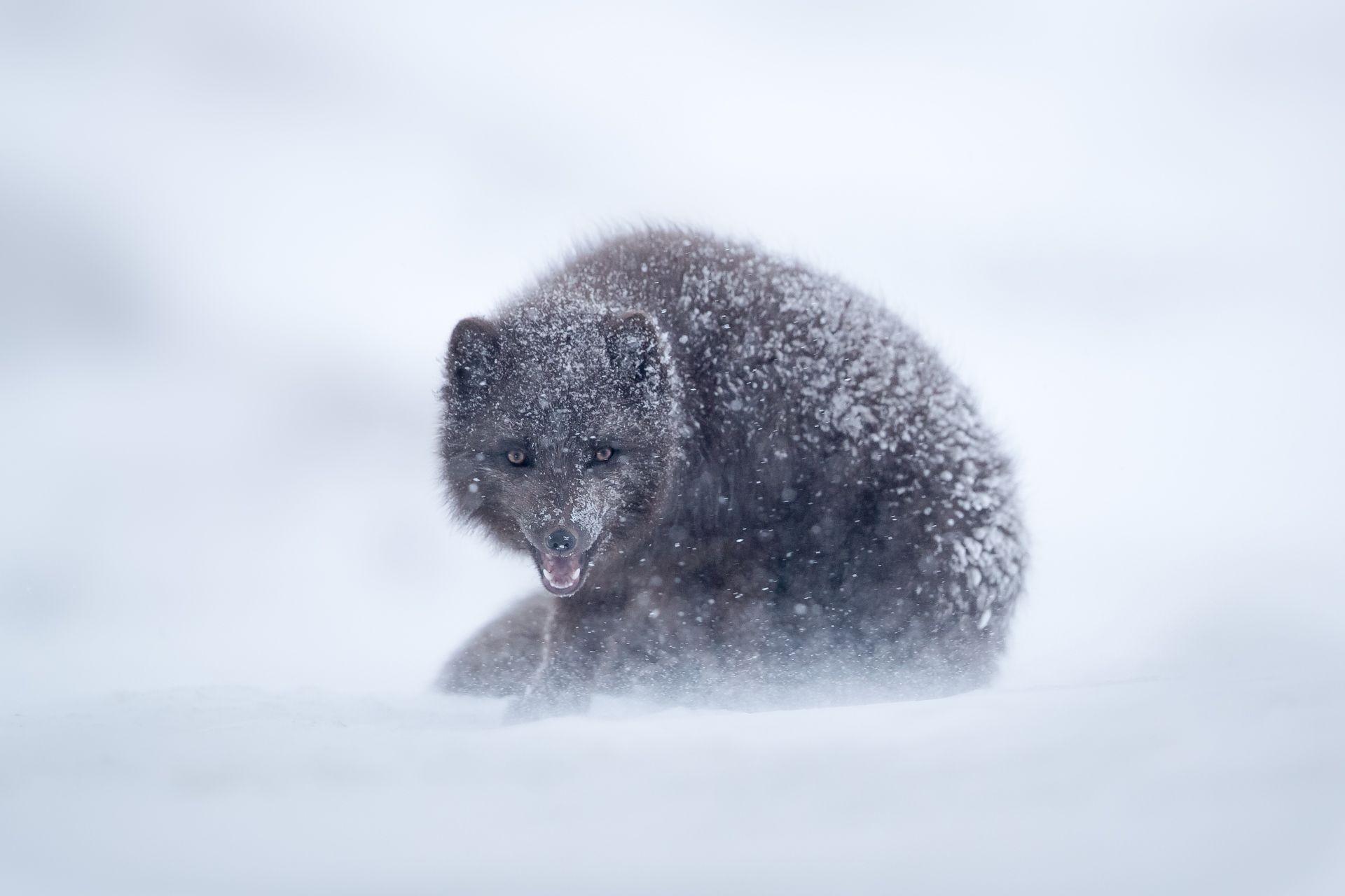 Raposa e gelo