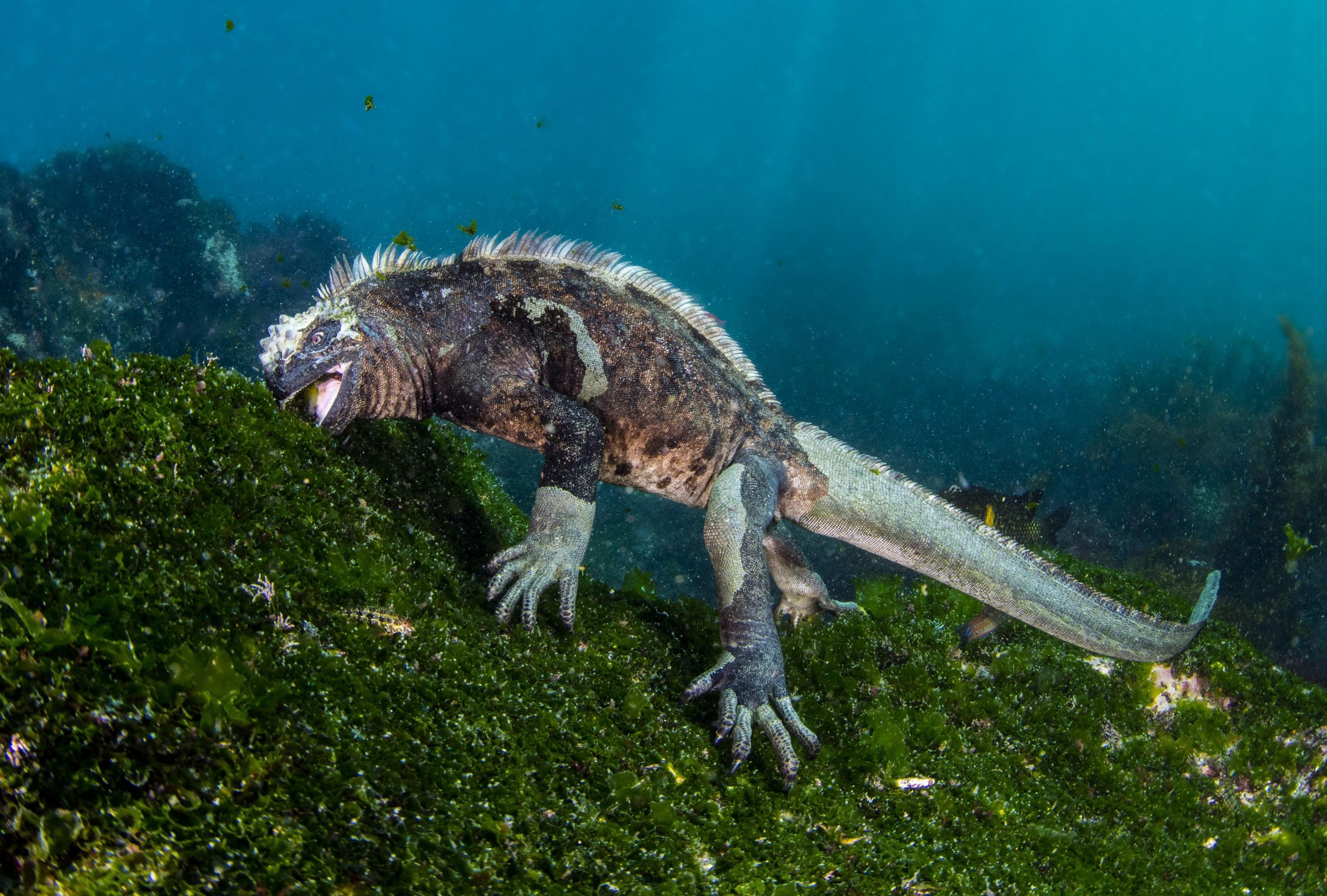 iguana comendo vegetais no mar dos galápagos