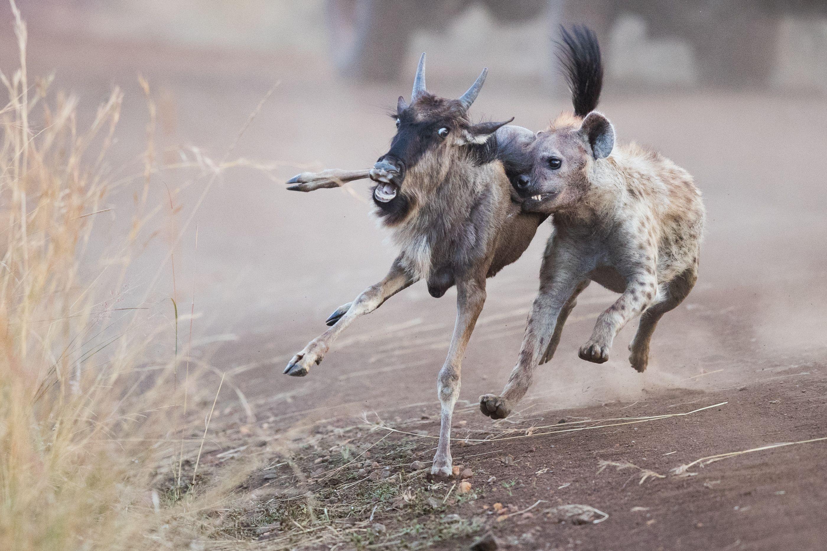 Foto de hiena pegando uma besta selvagem