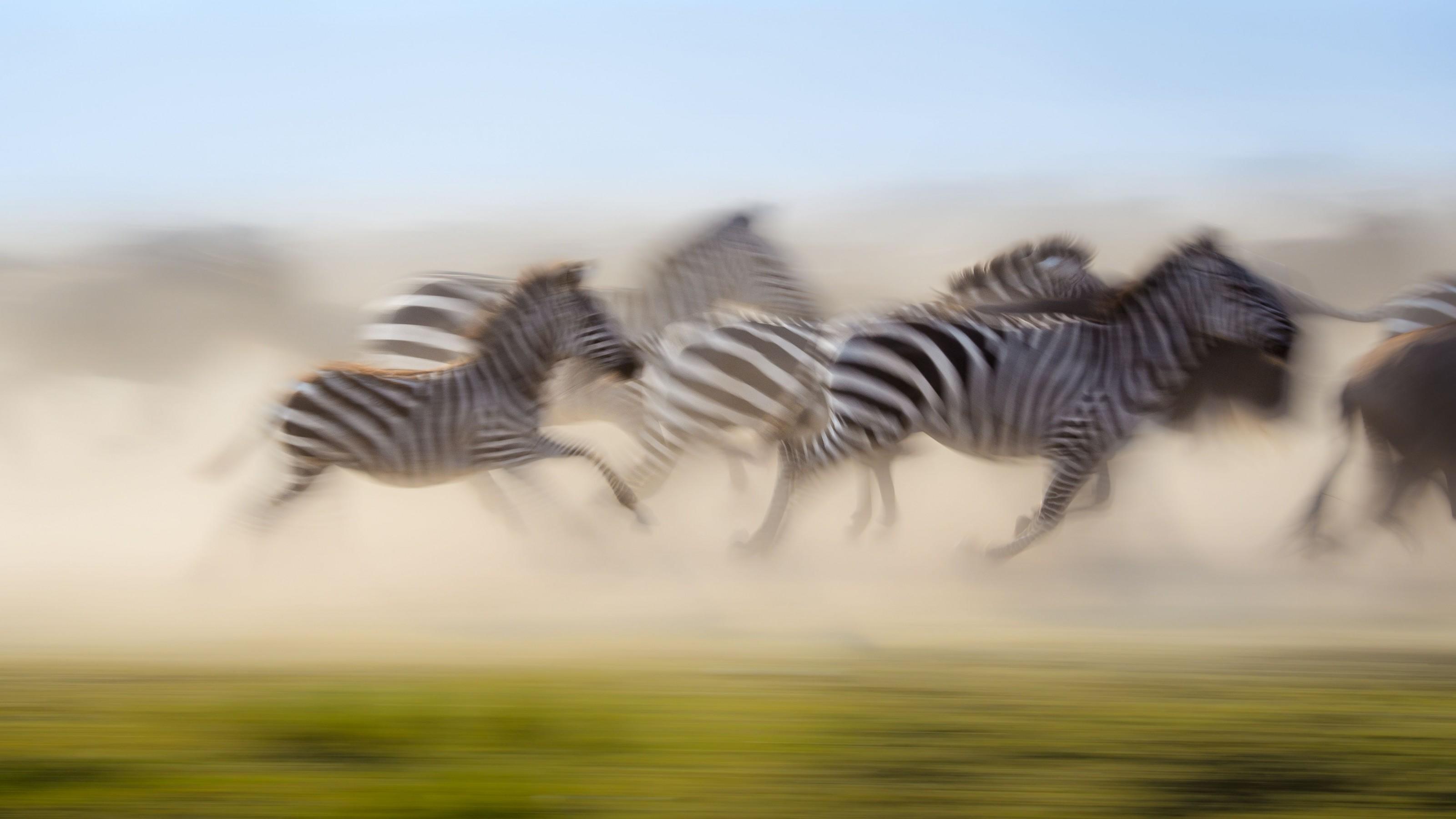 Zebras correndo