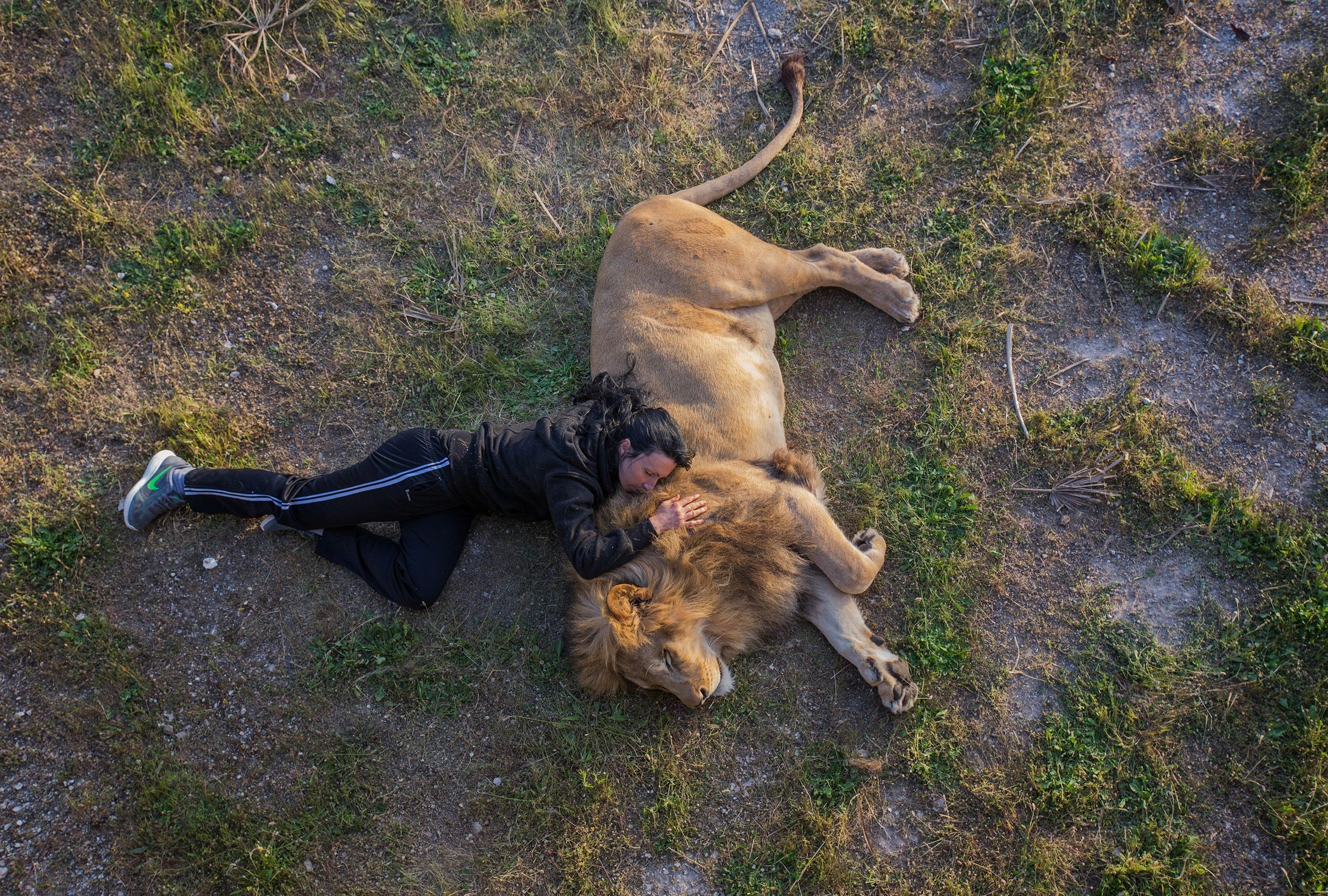 O sono do leão