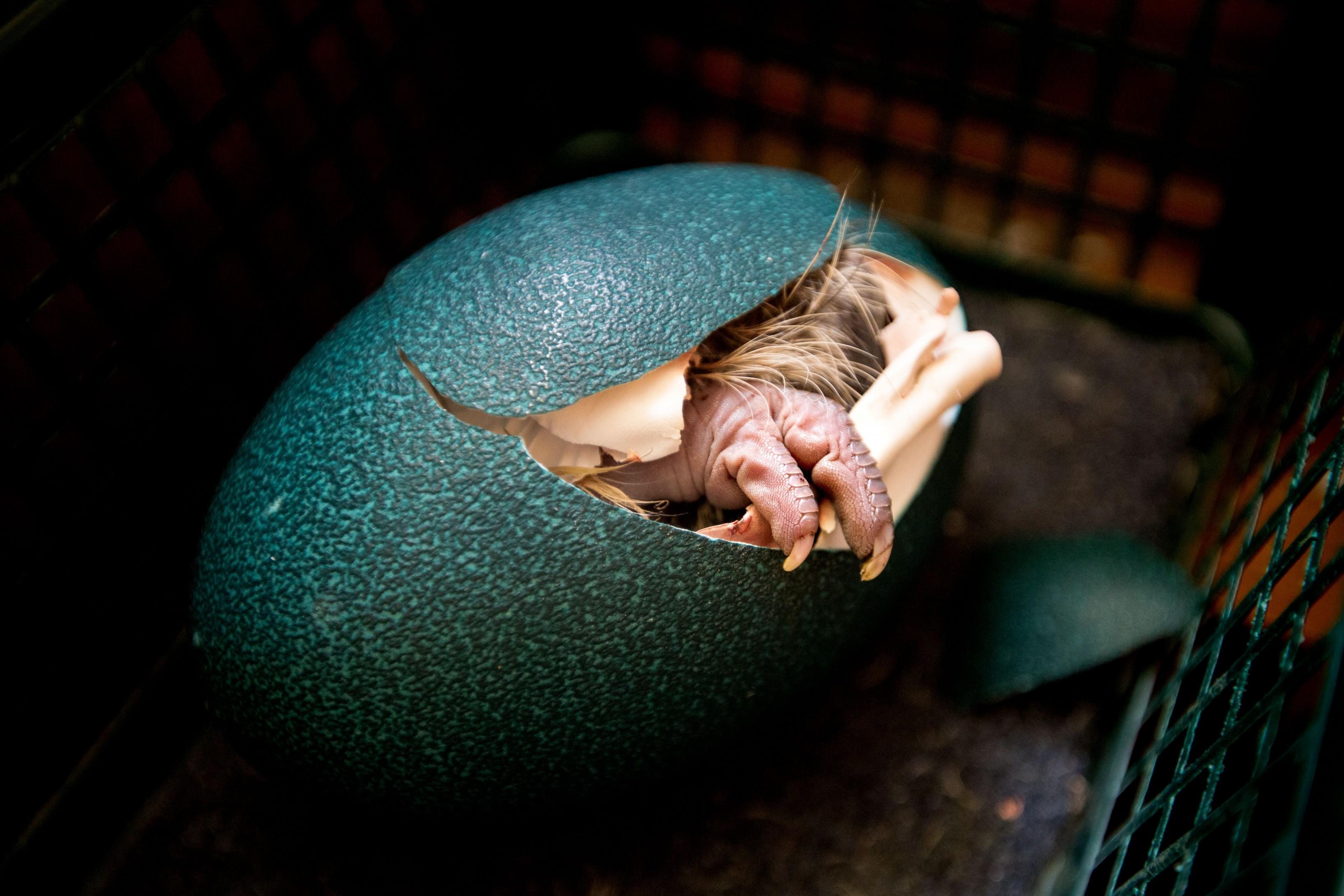 emu saindo da casca do ovo