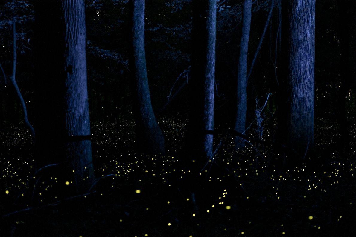 """Todos os anos no mês de maio, vaga-lumes conhecidos por """"piscarem em sincronia"""" iluminam as planícies ..."""