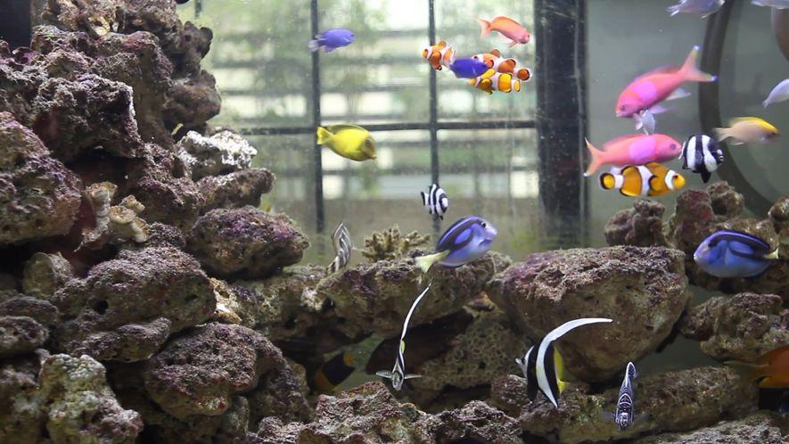 Como peixes selvagens viajam de recifes de coral até os aquários de água salgada