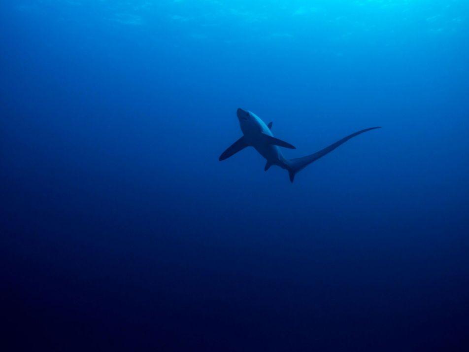 Evento misterioso reduziu populações de tubarões há 19 milhões de anos