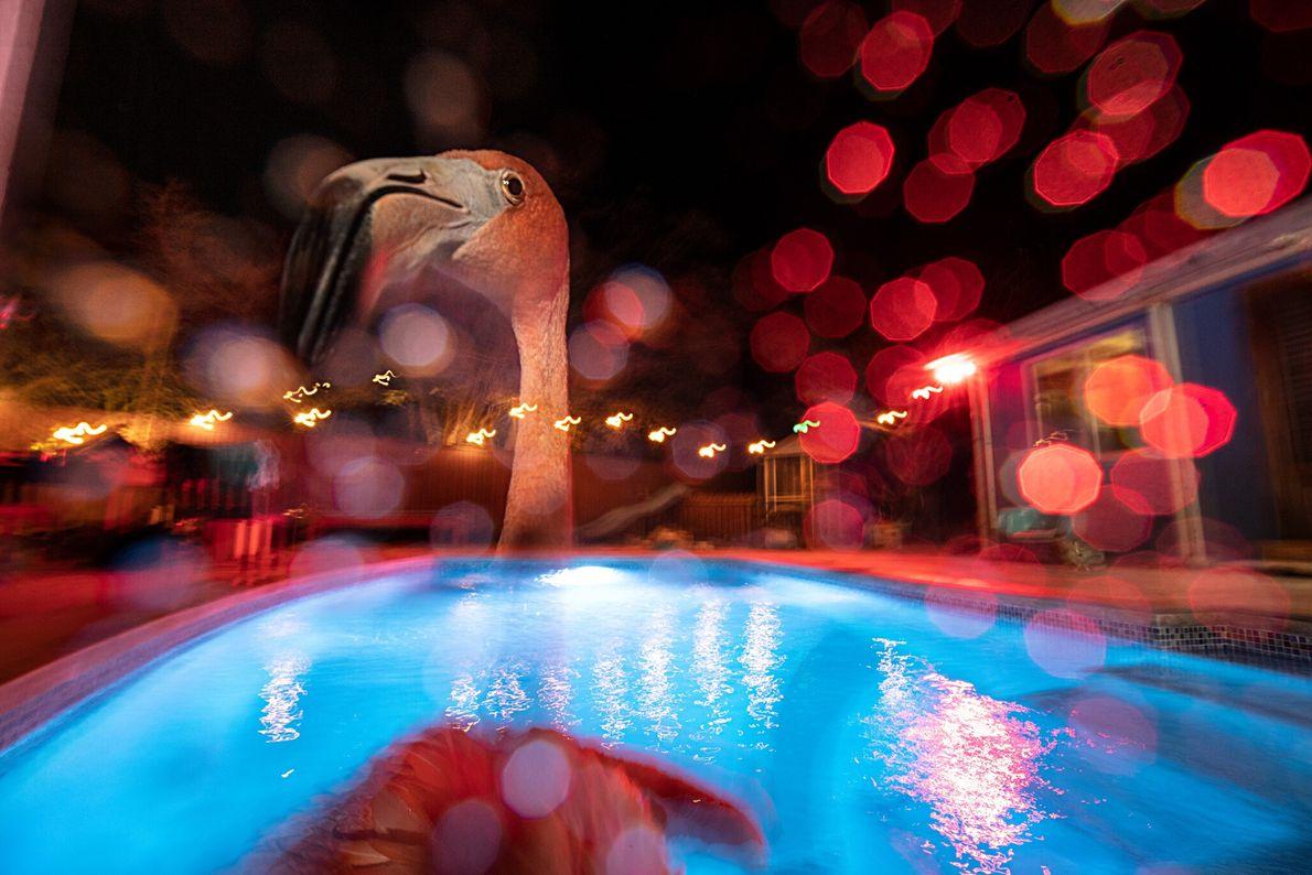 Bob, um flamingo, dá um mergulho noturno na piscina de água salgada atrás da casa de ...