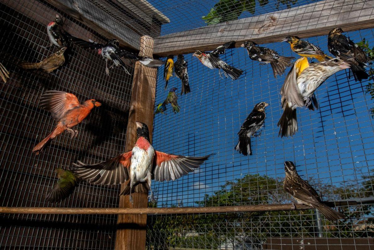 Milhares de pássaros migratórios são capturados na Flórida todos os anos para abastecer um próspero mercado ...