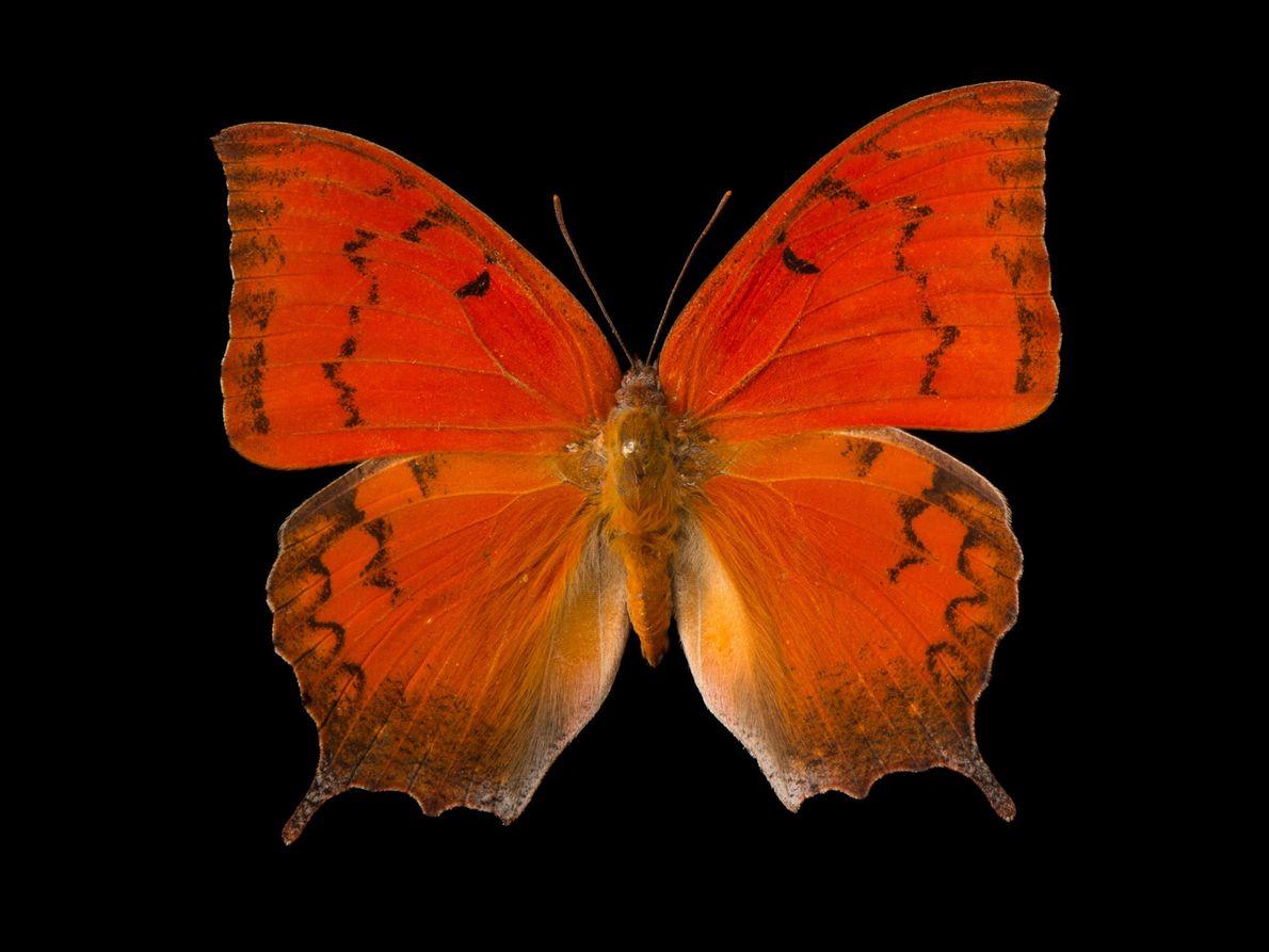 Borboleta da Flórida Anaea troglodyta floridalis (não avaliada) – A única população sobrevivente desta espécie em ...