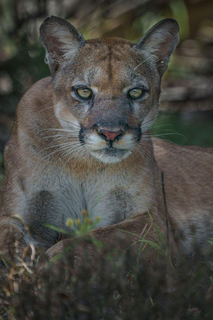 Uma pantera-da-Flórida fêmea encara o fotógrafo no Santuário do Pântano de Corkscrew, em Audubon, perto de ...