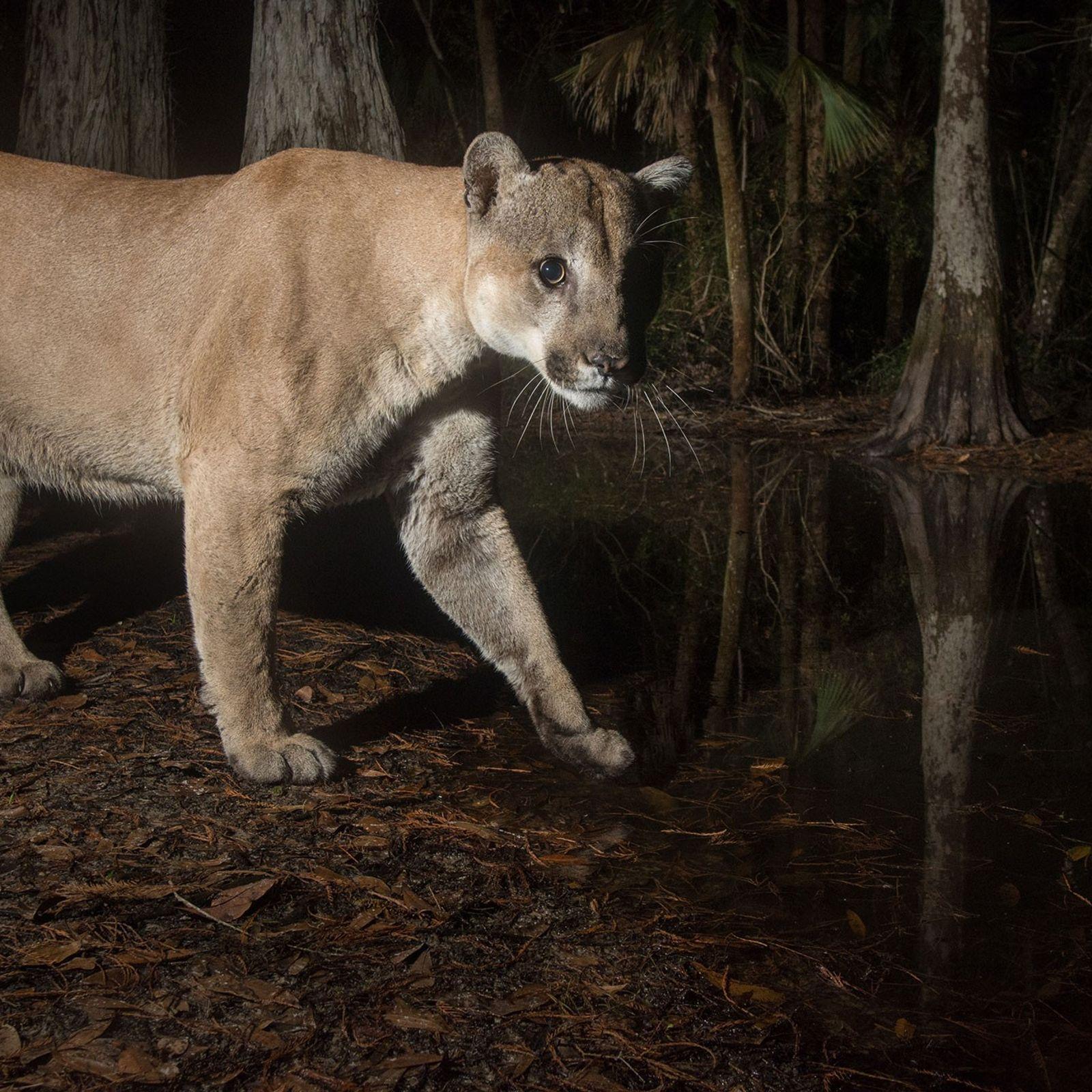 Às margens de um pântano de ciprestes na Babcock Ranch Preserve, uma pantera-da-Flórida macho aciona uma ...