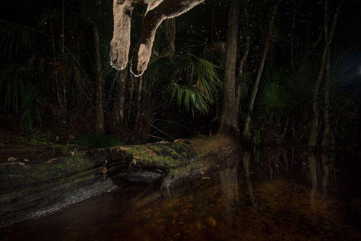 Uma pantera salta sobre um riacho que corta uma trilha elevada no Refúgio Nacional de Vida ...