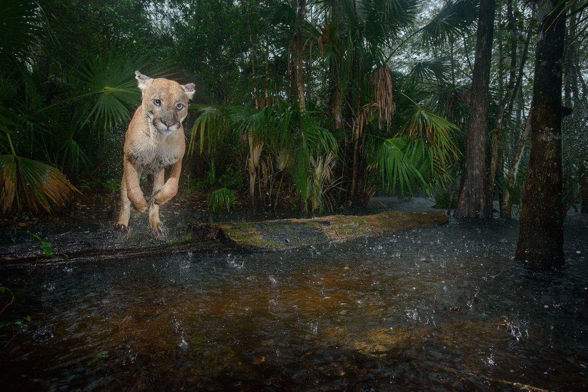 Esta pantera macho salta sobre um riacho no Refúgio Nacional de Vida Selvagem da Pantera-da-Flórida. A ...