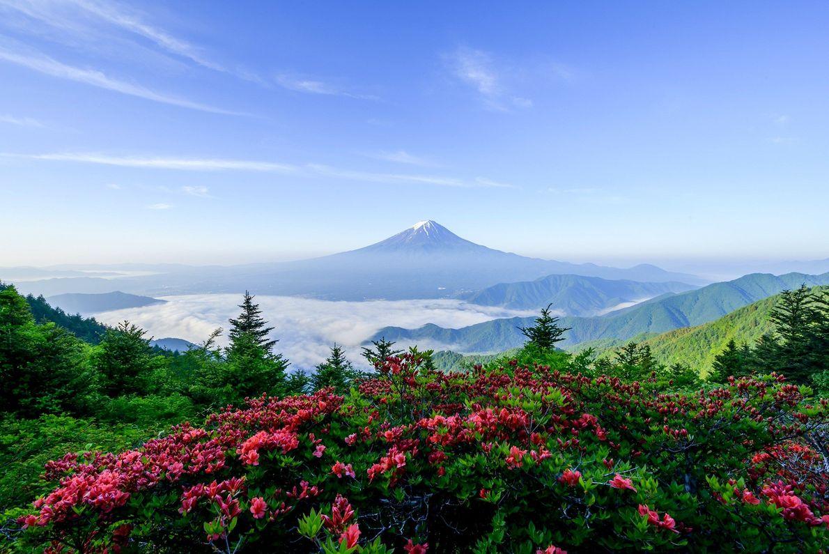 Flores de primavera dão um bonito e colorido primeiro plano ao azul atmosférico do Monte Fuji.
