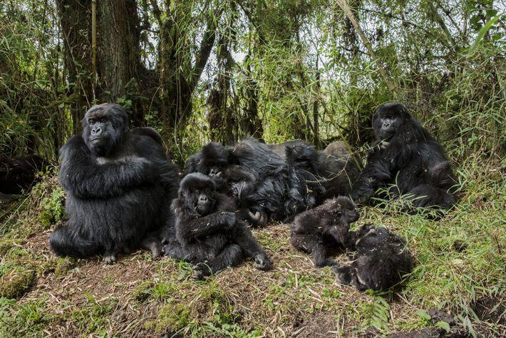 fossey-gorilas