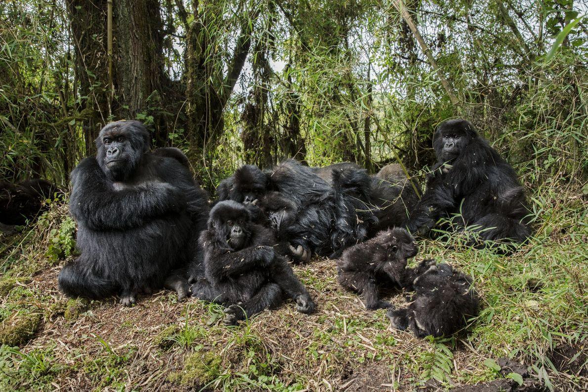 Não fosse Fossey ferozmente proteger os gorilas e seu habitat,esses primatas, descansando nas altas altitudes dos ...