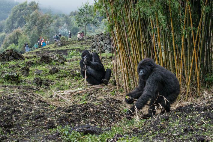 Agricultores do vilarejo de Bisate, nas imediações do Parque Nacional dos Vulcões, acostumaram-se a ver gorilas ...