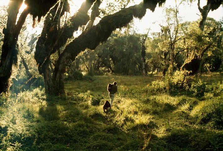 Fossey caminha com Coco e Pucker. As duas foram capturadas ainda bebês, em 1969, para um ...