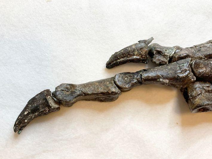 Foi a partir da pata posterior direita que os pesquisadores puderam identificar as peculiaridades morfológicas doAratasaurus ...