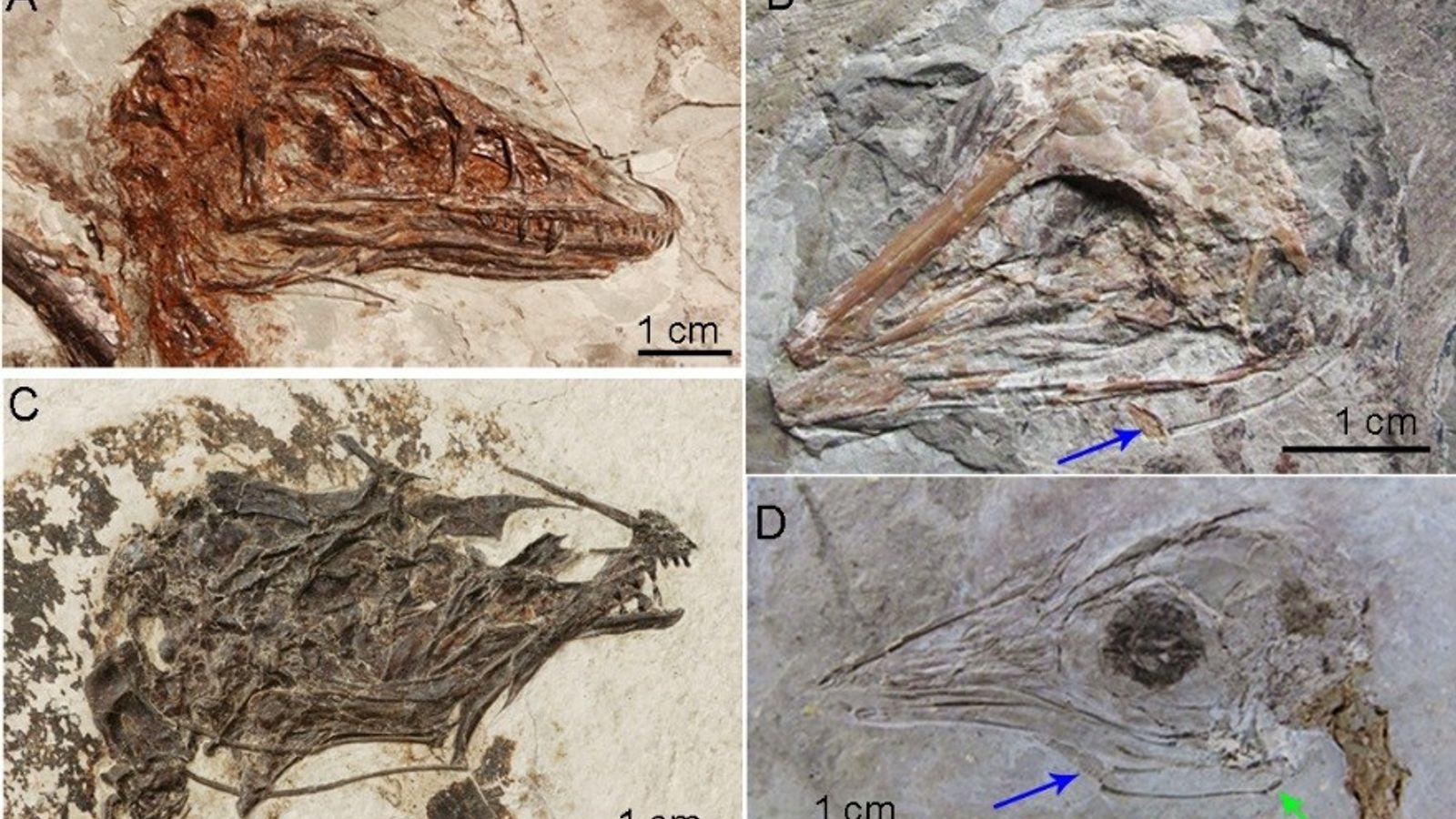 Fósseis de dinossauros descobertos no nordeste da China revelam ossos hioides preservados em suas bocas, o ...
