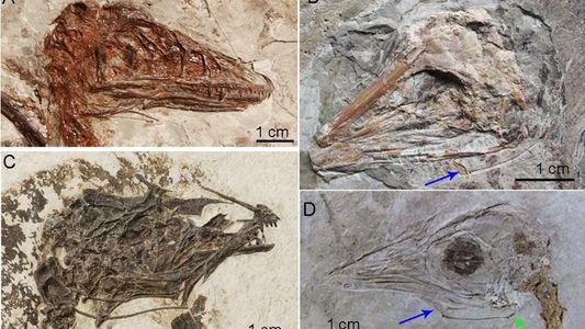 Por que o Tiranossauro Rex não conseguia sacudir a língua