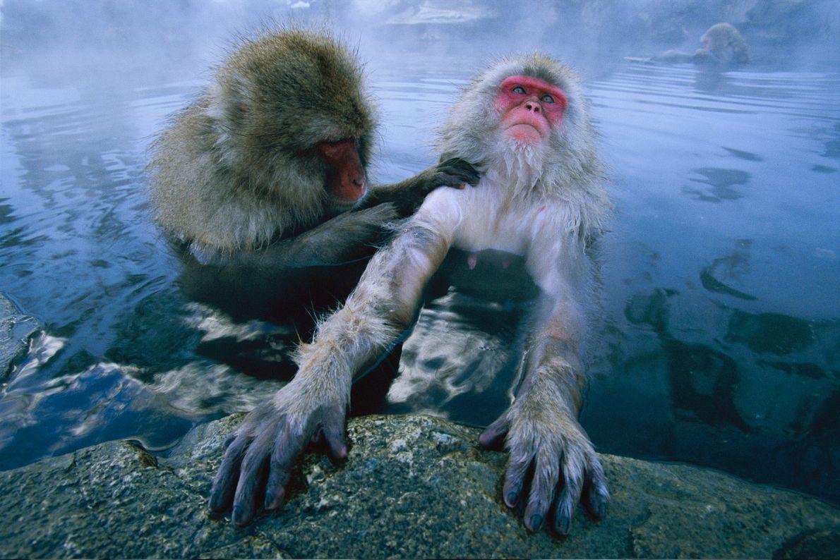 Macacos-da-neve