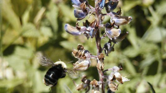 Espécie de abelha não é vista desde 2006 e entra na lista de animais ameaçados